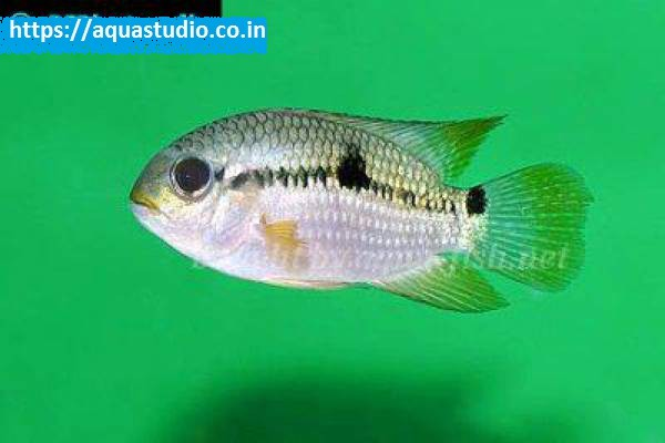 buy Acara cichlid Ahmedabad Gujarat India