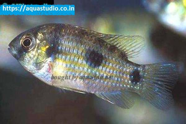 buy African butterfly cichlid Ahmedabad Gujarat India