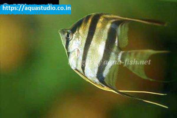 buy Altum angelfish Ahmedabad Gujarat India
