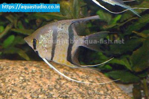 buy Angelfish Ahmedabad Gujarat India