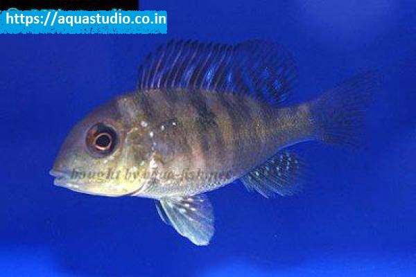 buy Argentine humphead Ahmedabad Gujarat India