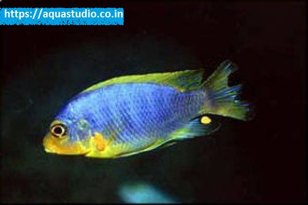 buy Aurora cichlid Ahmedabad Gujarat India