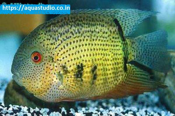 buy Banded cichlid Ahmedabad Gujarat India