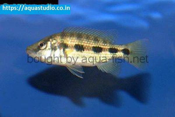 buy Banded jewel cichlid Ahmedabad Gujarat India