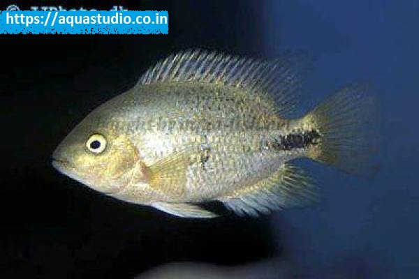 buy Black belt cichlid Ahmedabad Gujarat India