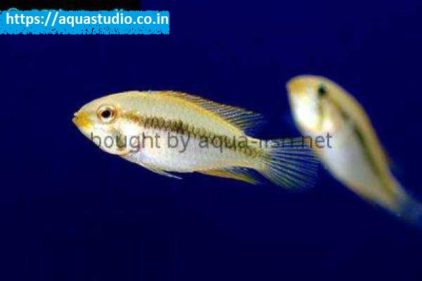 buy Blackstripe dwarf cichlid Ahmedabad Gujarat India