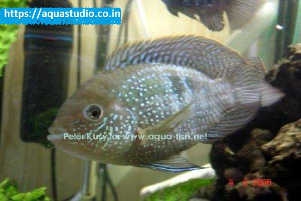 buy Blue acara Ahmedabad Gujarat India