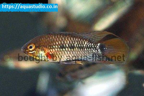buy Blue cheek dwarf cichlid Ahmedabad Gujarat India