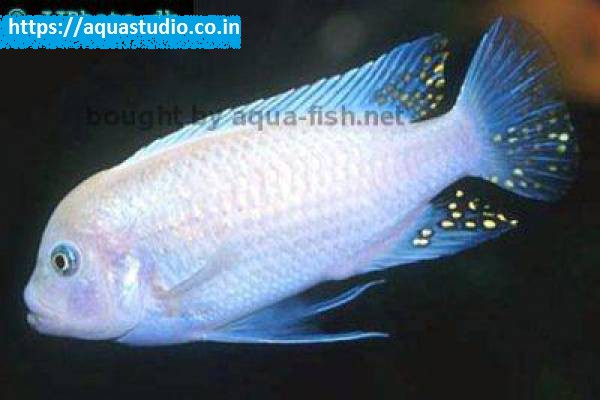 buy Blue cobalt cichlid Ahmedabad Gujarat India