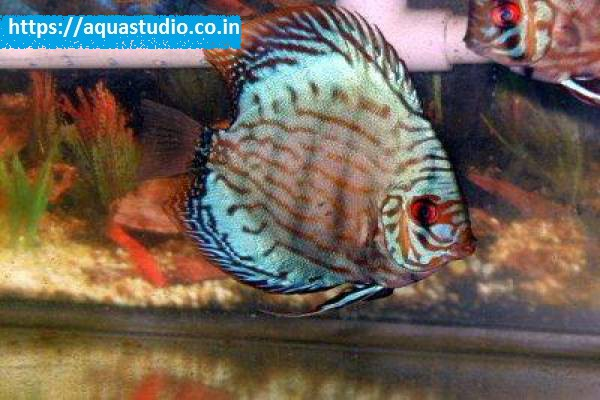 Buy Blue discus at AquaStudio