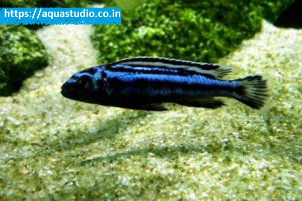 buy Blue electric cichlid Ahmedabad Gujarat India