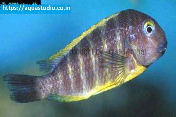buy Blue eyed tropheus Ahmedabad Gujarat India