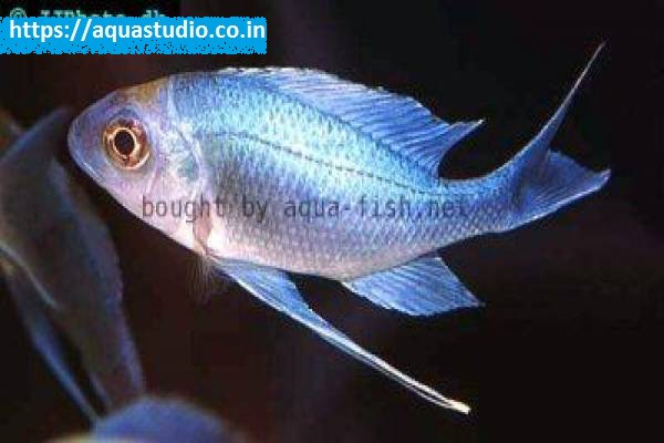 buy Blue goldtip cichlid Ahmedabad Gujarat India