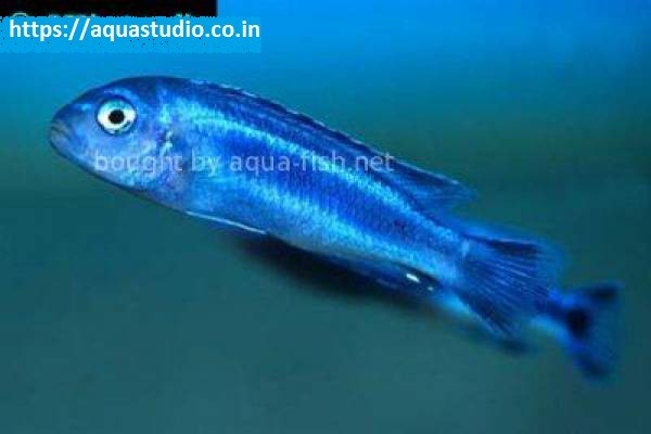 buy Blue johanni Ahmedabad Gujarat India