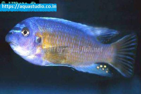buy Blue mbuna Ahmedabad Gujarat India