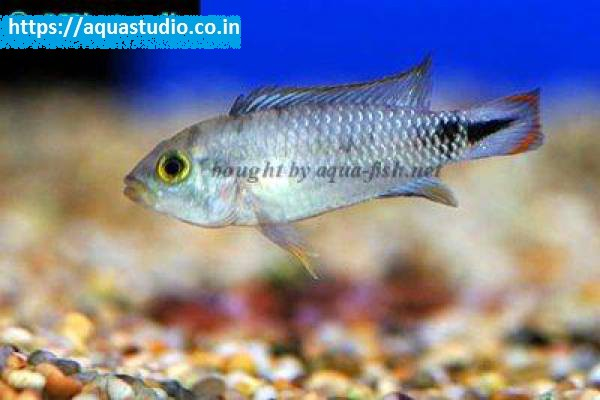buy Blue panda apisto Ahmedabad Gujarat India