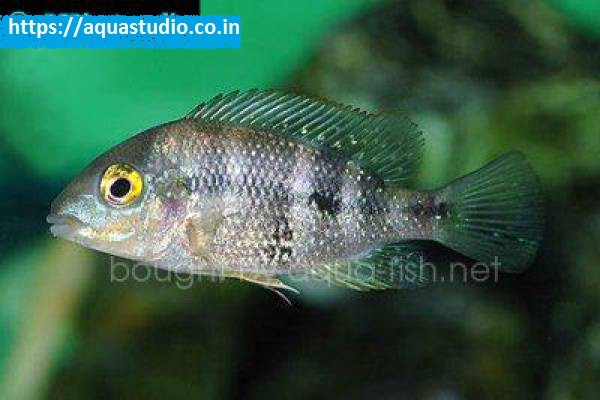 buy Bluemouth cichlid Ahmedabad Gujarat India