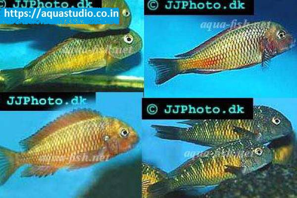 buy Blunthead cichlid Ahmedabad Gujarat India