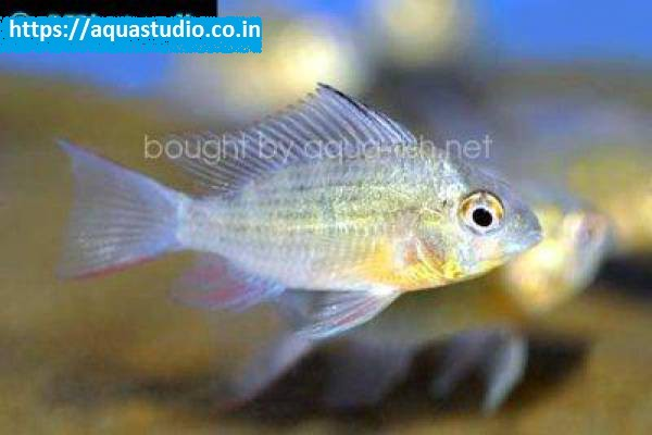 Buy Bolivian ram at AquaStudio