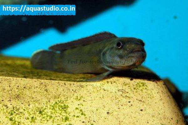 buy Brichards slender cichlid Ahmedabad Gujarat India