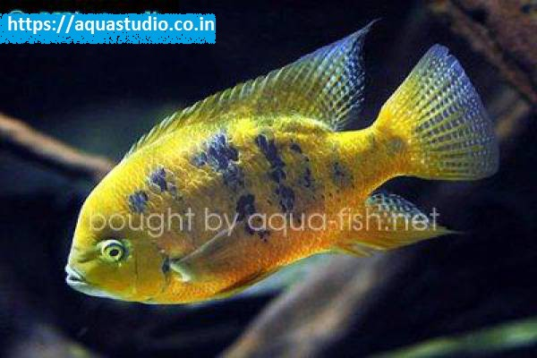 buy Chiseltooth cichlid Ahmedabad Gujarat India