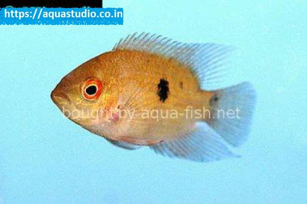 buy Chocolate cichlid Ahmedabad Gujarat India