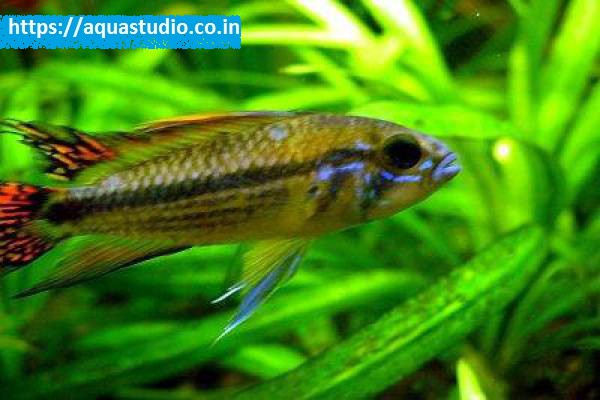 buy Cockatoo dwarf cichlid Ahmedabad Gujarat India