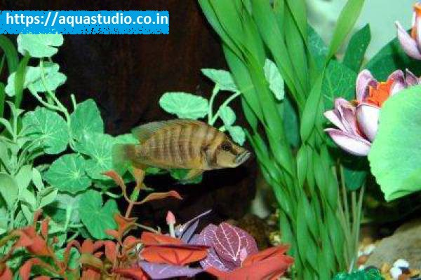 buy Compressed cichlid Ahmedabad Gujarat India