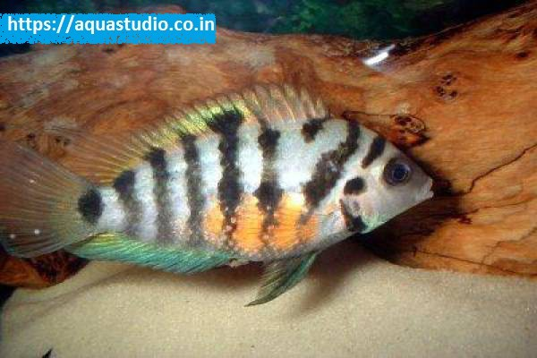 buy Convict cichlid Ahmedabad Gujarat India