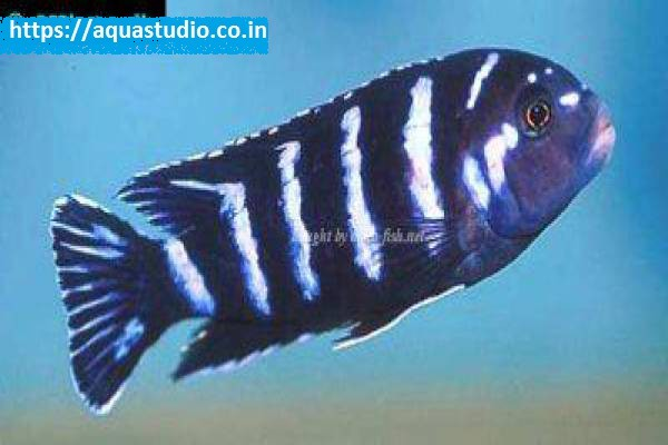buy Demasons cichlid Ahmedabad Gujarat India