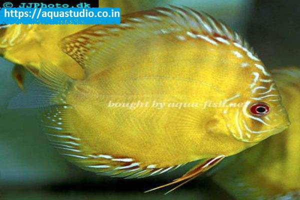 buy Discus Ahmedabad Gujarat India