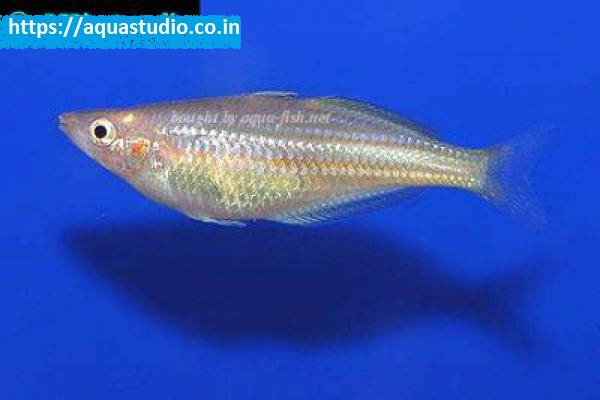 buy Doritys rainbowfish Ahmedabad Gujarat India