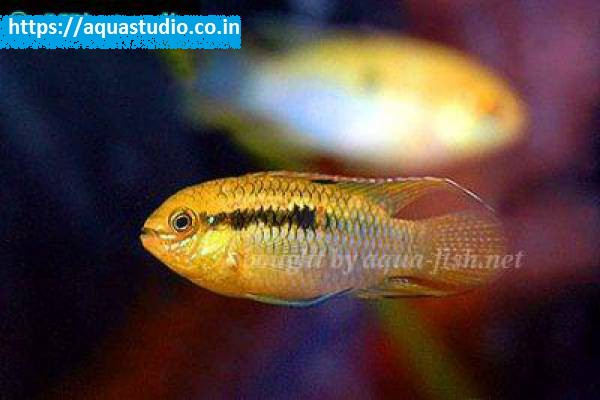 buy Dwarf flag cichlid Ahmedabad Gujarat India