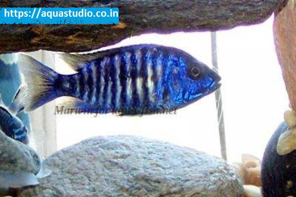 buy Electric blue hap Ahmedabad Gujarat India