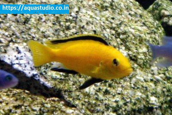 buy Electric yellow cichlid Ahmedabad Gujarat India
