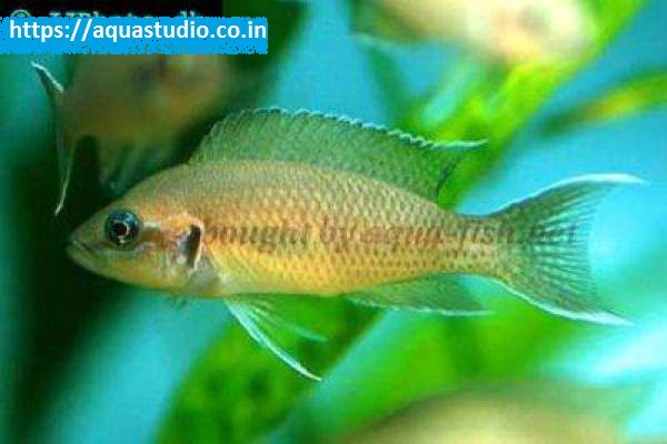 buy Fairy cichlid Ahmedabad Gujarat India