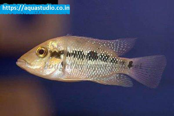 buy False firemouth cichlid Ahmedabad Gujarat India