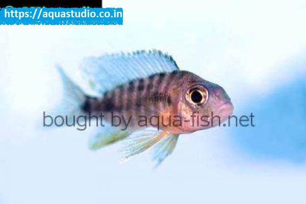 buy Firebird cichlid Ahmedabad Gujarat India