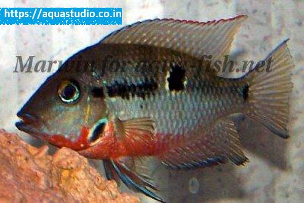 buy Firemouth cichlid Ahmedabad Gujarat India