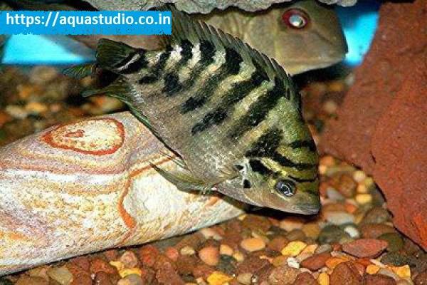 buy Flier cichlid Ahmedabad Gujarat India