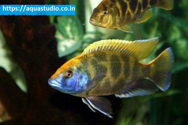 buy Giraffe cichlid Ahmedabad Gujarat India