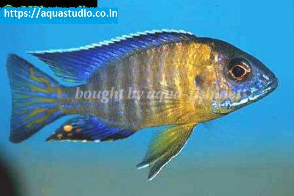buy Grants peacock cichlid Ahmedabad Gujarat India