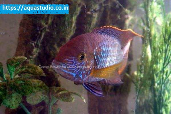 buy Green terror cichlid Ahmedabad Gujarat India
