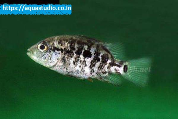 buy Haitian cichlid Ahmedabad Gujarat India
