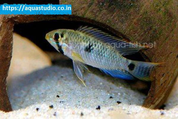 buy Highfin dwarf cichlid Ahmedabad Gujarat India