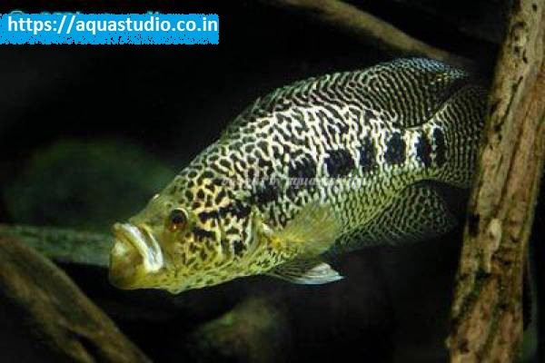buy Jaguar cichlid Ahmedabad Gujarat India