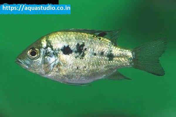 buy Juba cichlid Ahmedabad Gujarat India