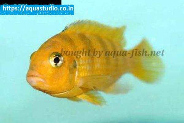buy Kenyi cichlid Ahmedabad Gujarat India