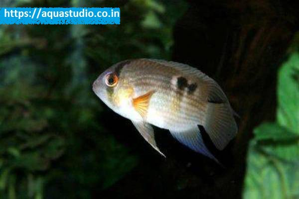 buy Keyhole cichlid Ahmedabad Gujarat India