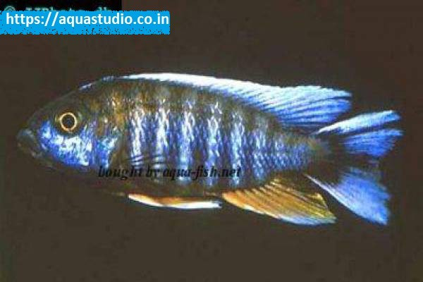 buy Lake malawi butterfly cichlid Ahmedabad Gujarat India